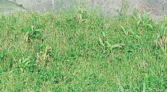 निरन्तरकाे वर्षाले अन्नबाली खेतबारीमै कुहिन थाल्याे; कृषकलाई खाद्यान्न संकट हुने चिन्ता